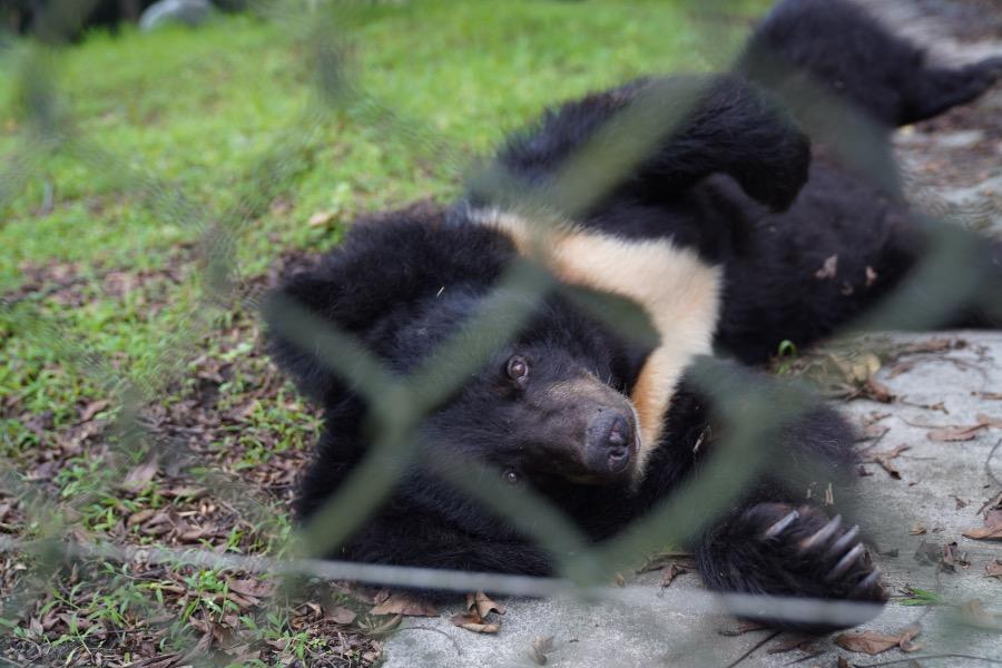 """亞洲黑熊因為胸前有一團新月狀的白毛,所以又叫""""月熊"""".。它們是國家二級保護動物。"""